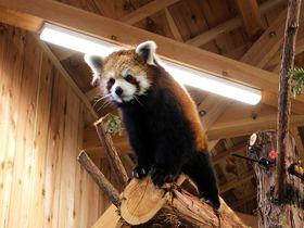 「伊豆シャボテン動物公園」距離感ゼロ!カピバラやレッサーパンダとふれあい体験