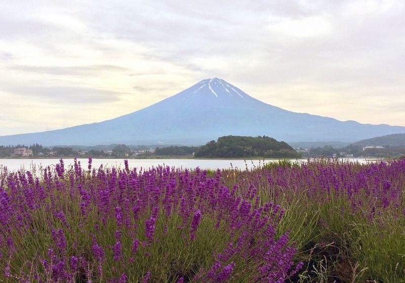 「河口湖ハーブフェスティバル」富士山&ラベンダーの超絶景+アジサイも!