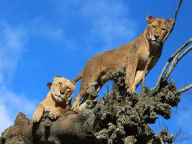 静岡県「富士サファリパーク」ライオン達とドキドキ超接近体験!