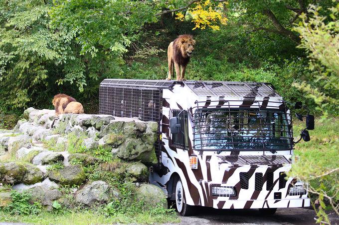 スーパージャングルバスとナビゲーションカーでさらに接近!