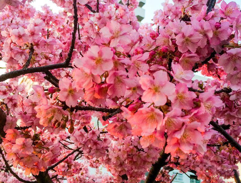 花が大きく、ピンクが濃い!約1ヶ月も咲き続ける河津桜