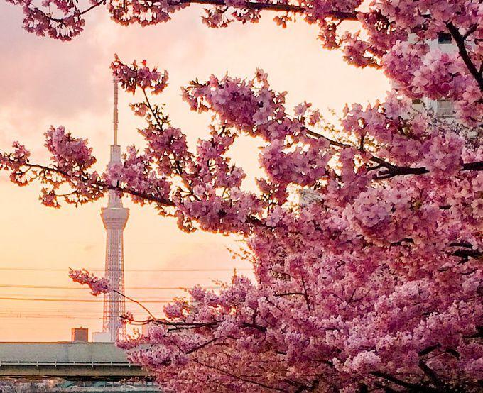 河津桜とスカイツリーの見事な競演!江戸川区・旧中川沿いの河津桜並木