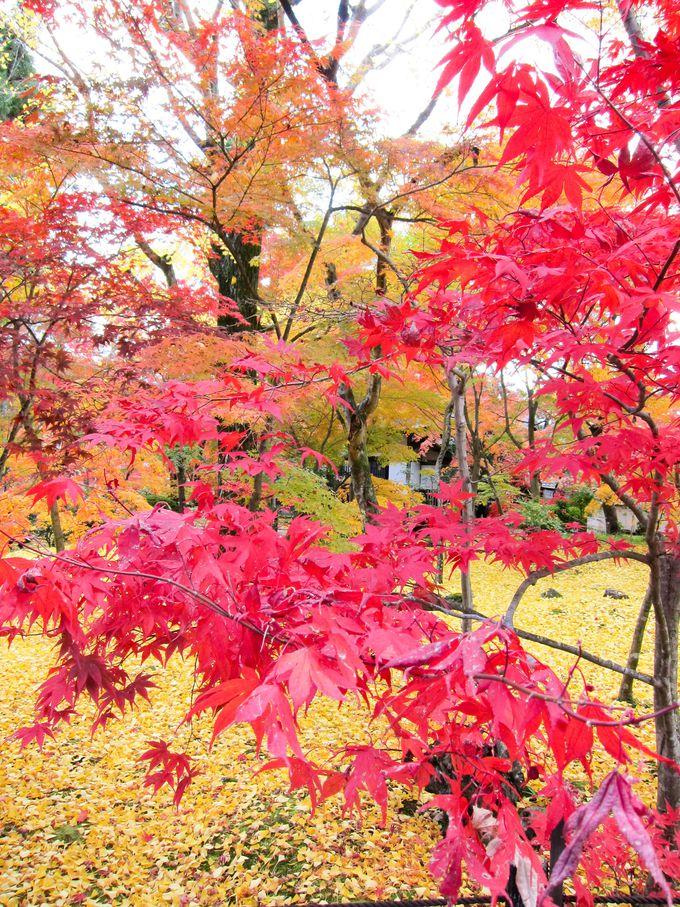 彩り豊かな紅葉×銀杏の黄色い絨毯「永観堂」