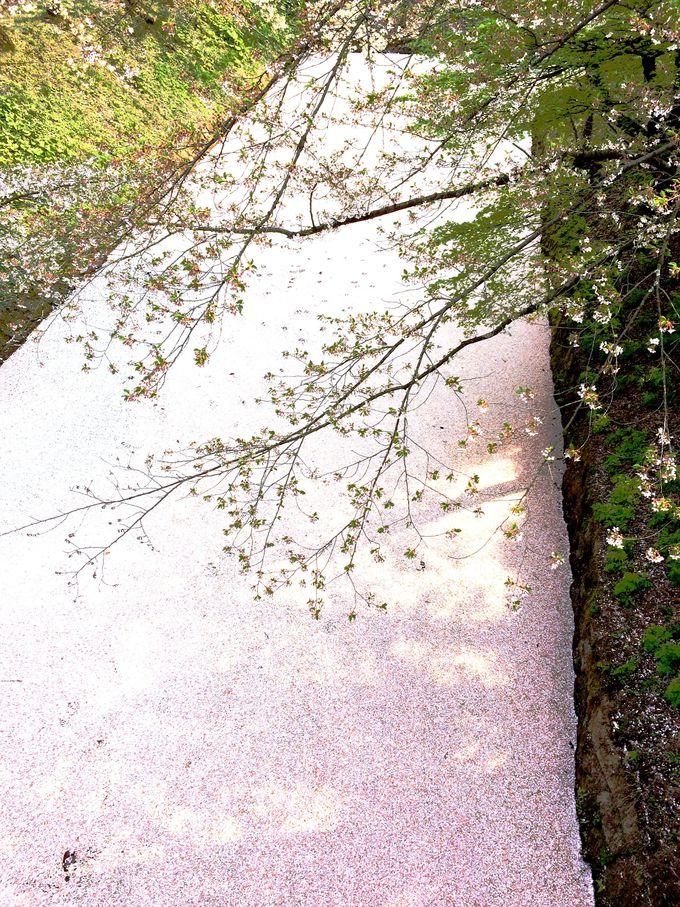 散り際が美しい…水面を埋め尽くす桜じゅうたんの絶景