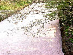 桜のじゅうたん&世界一長い桜並木!弘前で出会う春の絶景