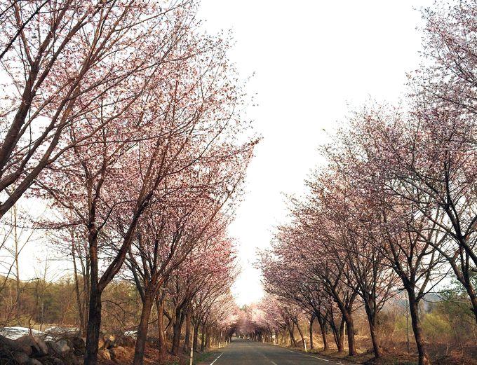 岩木山のふもとの絶景「世界一長い桜並木」