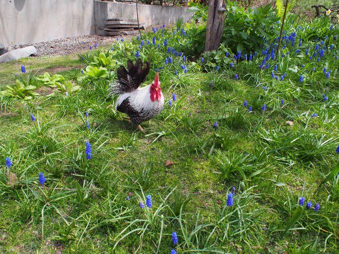 ニワトリがお出迎え!?一面に花が咲き乱れる「マザーズガーデン」