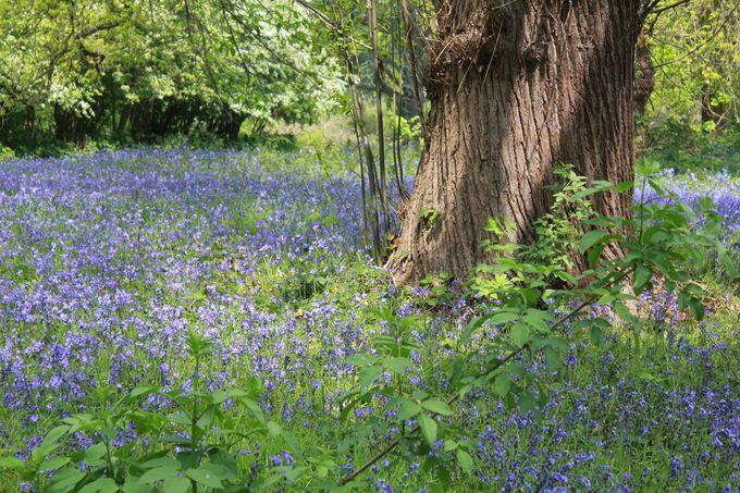 幻想的な青の絨毯「イングリッシュブルーベル」の群生地