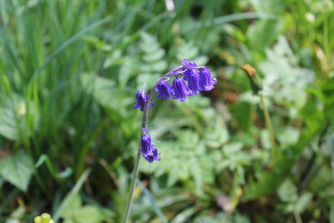 自然のままの荒れ野に咲き誇る「イングリッシュブルーベル」