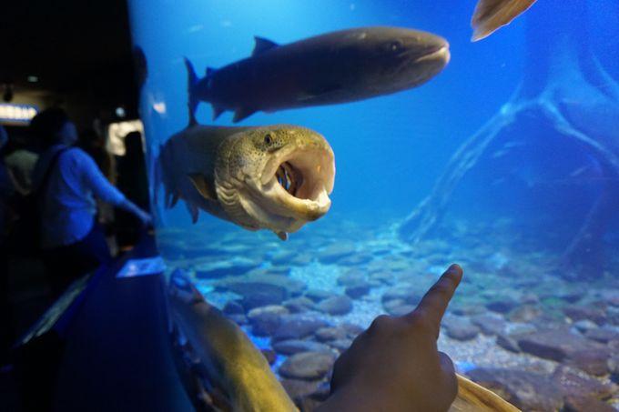日本最大!幻の魚・イトウ