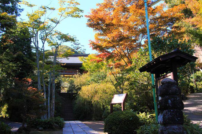 秋は山門と鐘楼の間に存在感をアピールするかのようなシオンが咲き乱れる
