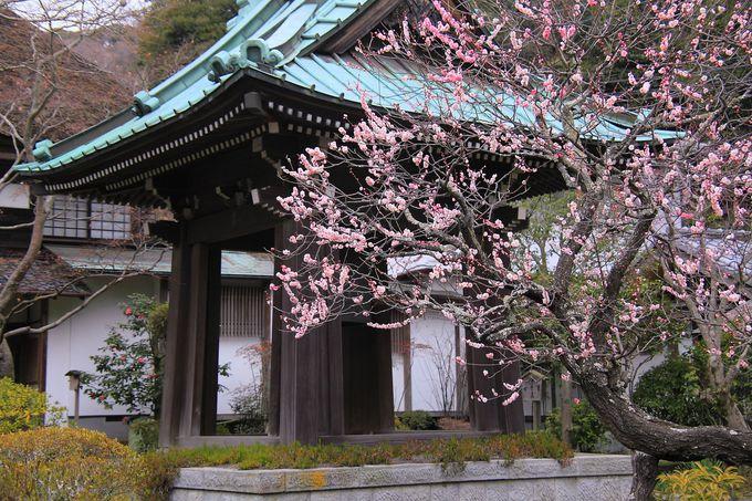 早春の時期は境内あちこちに枝垂れ梅がきれいに咲き誇る!