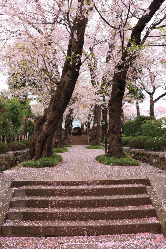 春の「東雲寺」境内は樹齢の高い桜の木が咲き乱れる!