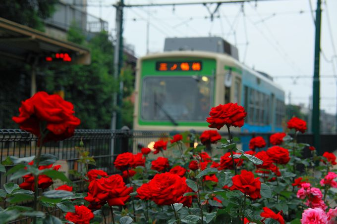 「荒川二丁目電停」も見逃すな!線路沿いに咲き乱れるバラの穴場