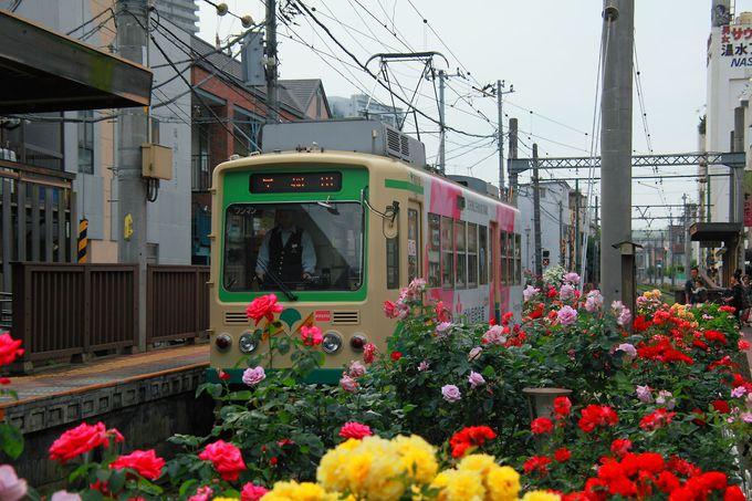 終着駅はバラ園!一瞬そう思ってしまうほどバラの花が非常に多い「三ノ輪橋電停」