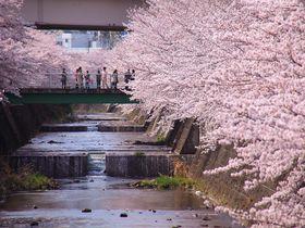 満開の桜が咲く東京「恩田川」で、お花見を兼ねた散策を楽しもう!