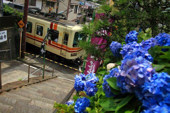 「満福寺」参道階段から紫陽花と江ノ電のコラボレーションを撮影!