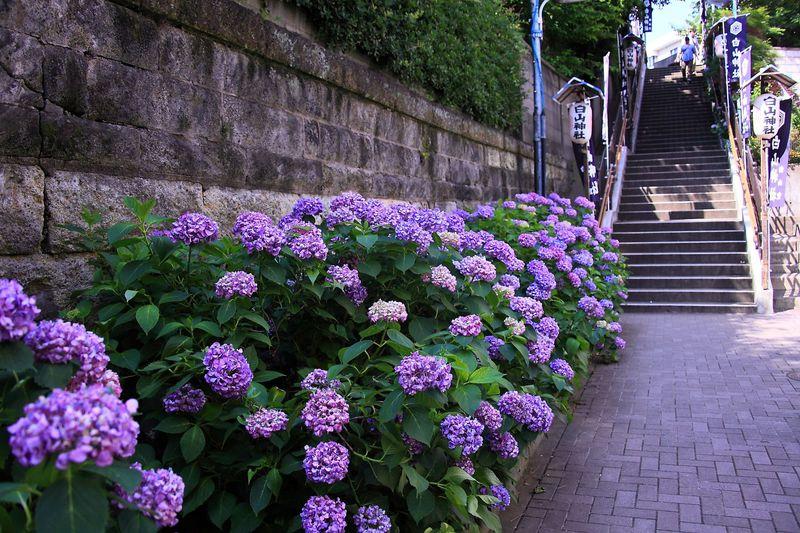 東京のど真ん中にある白山神社へ紫陽花を見に行こう!