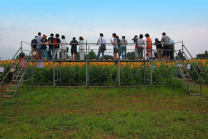 ひまわりの咲く時期に合わせて設置される展望台