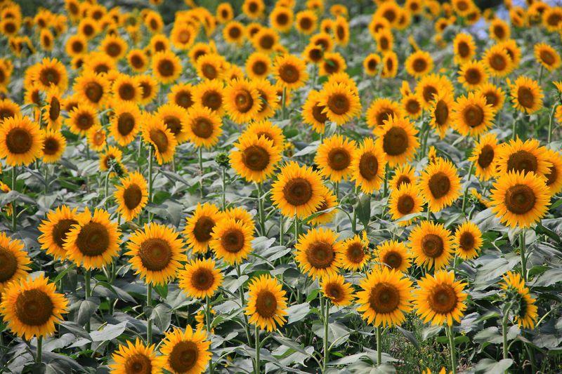 黄色い絨毯の絶景!神奈川県座間市の座架依橋周辺ひまわり畑