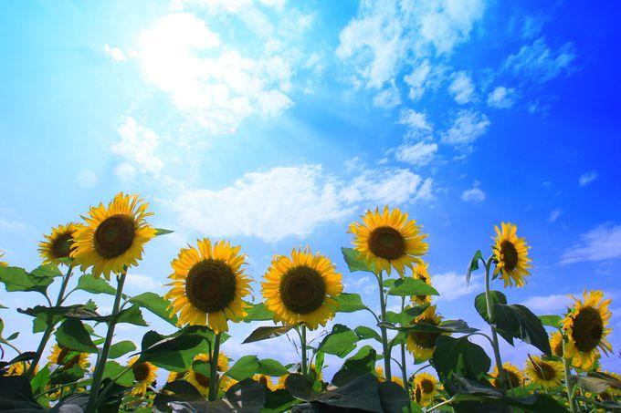 ひまわりを写真に収めるには夏らしい青空を入れると効果的!