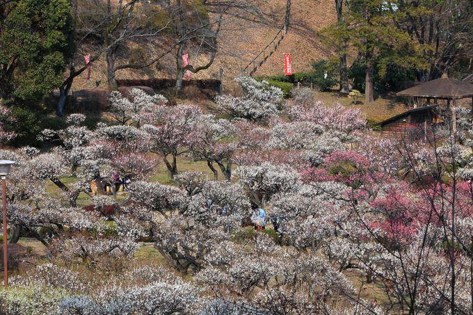 七面山の尾根伝いから見る梅林も地上に敷かれた紅白の絨毯のよう!