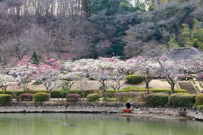 春の「薬師池公園」は梅が咲き乱れる梅林から始まる