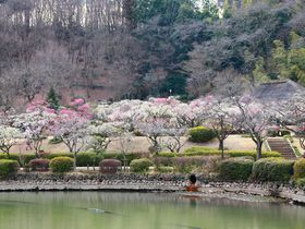 ピクニック気分で梅林観賞しよう!東京都町田市「薬師池公園」