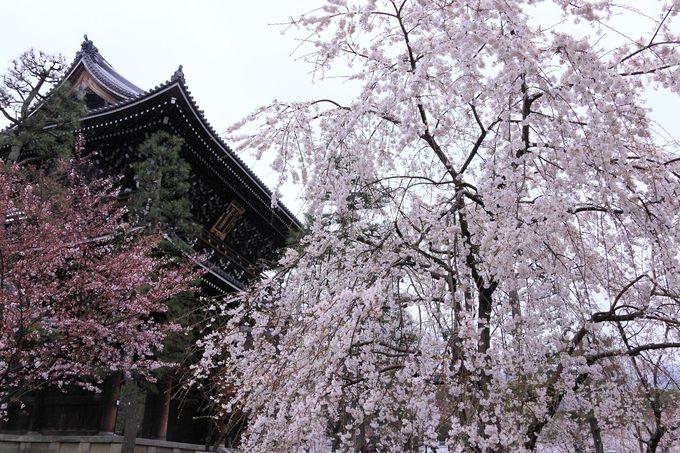 山門横には立派な枝垂桜が植えられている!