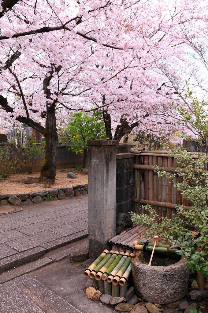 境内北側にはソメイヨシノを主としたピンク一色の世界が広がる!