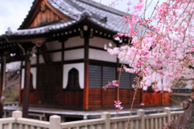 境内の南側には色の濃い紅枝垂桜と大師堂が!