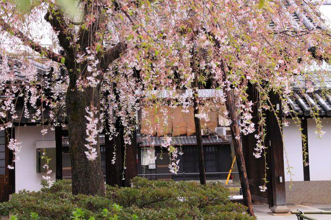 いざ山門をくぐれば立派な枝垂桜が出迎えてくれる。