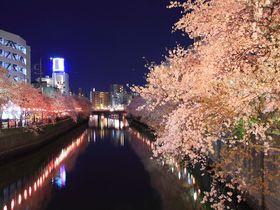 豪華絢爛すぎの夜桜に気分上々!横浜中心部「大岡川」プロムナード
