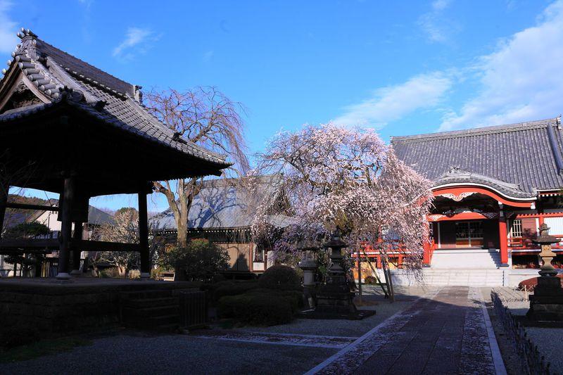 春の枝垂梅は必見!京都の寺院と間違えそうな町田「宏善寺」