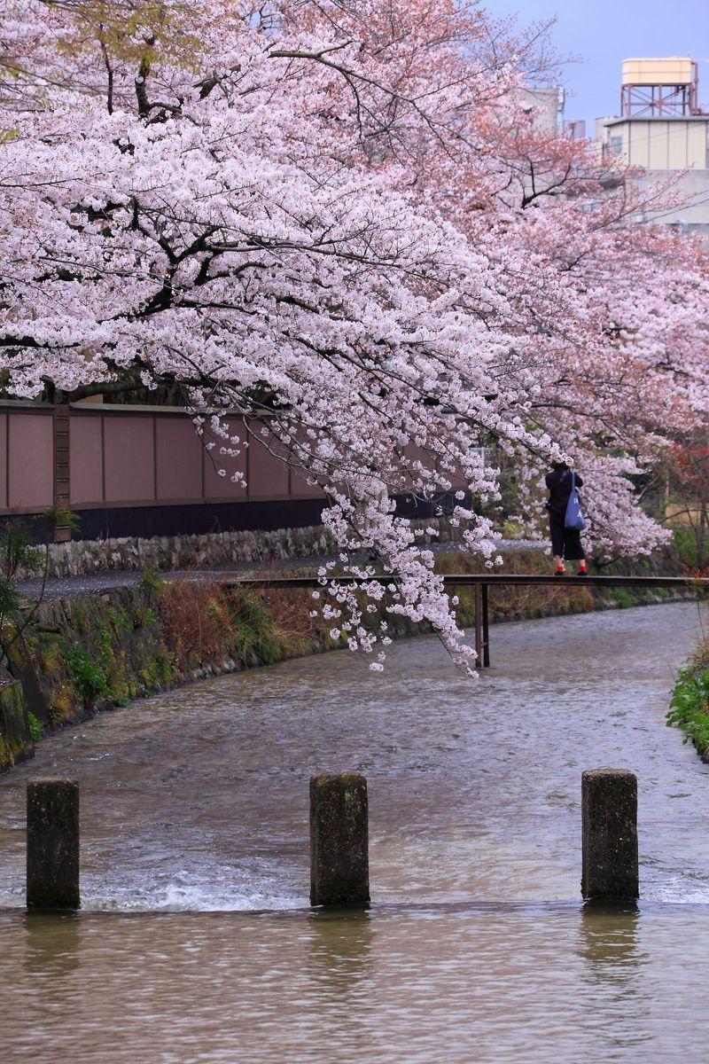 歩くだけでも観光気分!京都のメジャー観光名所を結ぶ「白川」