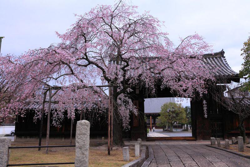 静かな境内で花見気分を満喫!春の京都西陣・穴場寺社4選