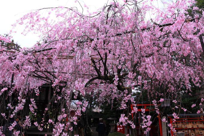 狭い境内に咲き乱れる枝垂桜は天を覆うピンク色の番傘!「水火天満宮」