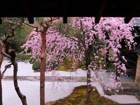 枝垂れ桜が満開の白砂庭園に釘付け!?京都西陣「妙顕寺」