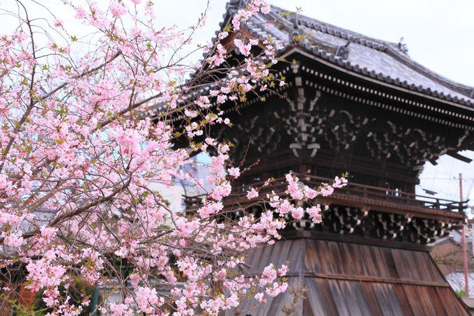 袴腰構造の鐘楼と御会式桜のコラボレーションはお見事!