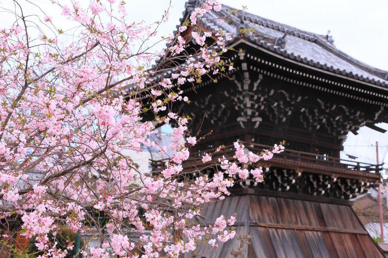 開花期間が約半年間!?京都西陣の「妙蓮寺」に咲く御会式桜を見に行こう!