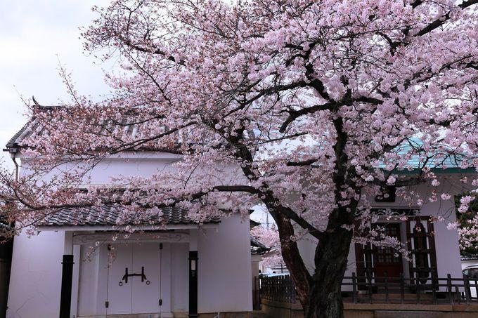 祖師堂や経蔵ともバッチリ相性が良い境内の桜