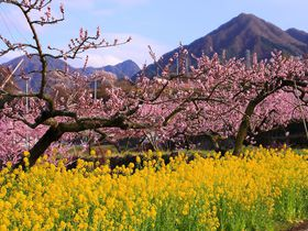 盆地に広がるピンク一色の桃の花が幻想的!春の山梨「御坂地区」