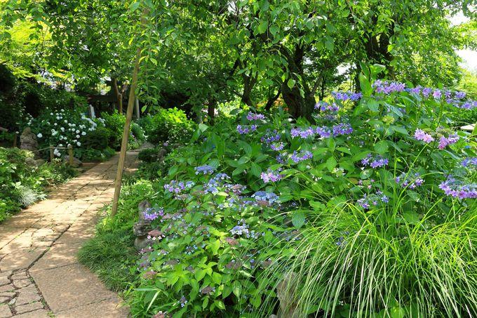 紫陽花咲き乱れる本堂前の参道