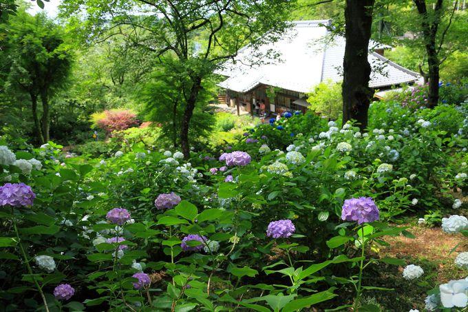 裏山の丘陵部も紫陽花でいっぱい!