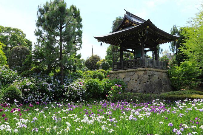 菖蒲と紫陽花が咲く湿地エリア!