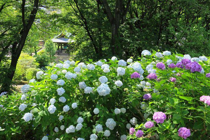 境内東側の丘陵部も紫陽花だらけ!