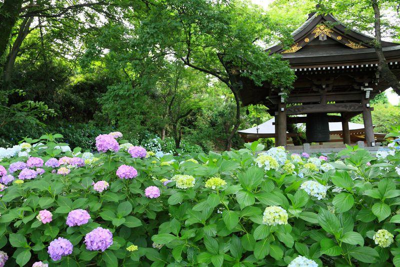 狭い境内に紫陽花群生は大迫力!川崎のあじさい寺「妙楽寺」