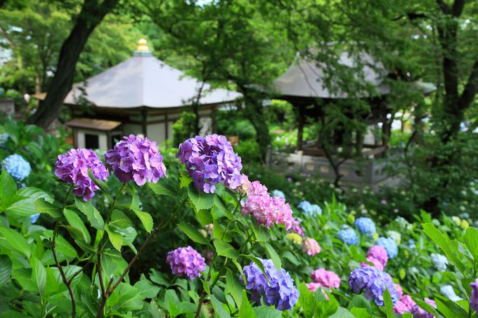 鐘楼を取り囲む紫陽花回廊