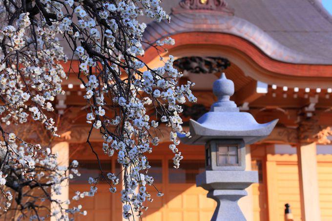 本堂と枝垂れ白梅とのコラボレーションは息を呑む美しさ!