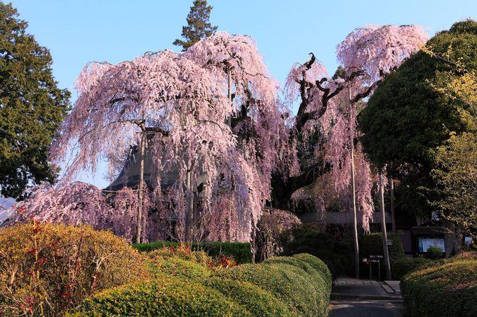 山門を潜ると目に飛び込んでくる素晴らしいしだれ桜!